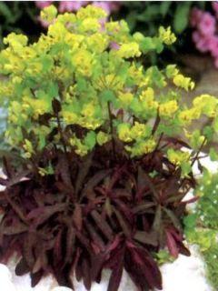 Euphorbe des bois 'Purpurea'