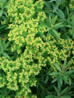Euphorbe palustris Walenburg's Glory - Euphorbe des marais