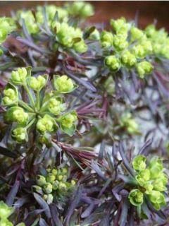 Euphorbe petit-cyprès Clarice Howard - Euphorbia cyparissias