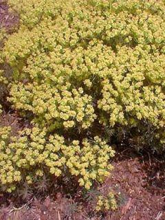 Euphoria cyparissias Fens Ruby - Euphorbe petit-cyprès