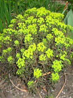 Euphorbia cyparissias Orange Man - Euphorbe petit-cyprès