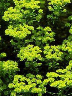 Euphorbe, Euphorbia cyparissias