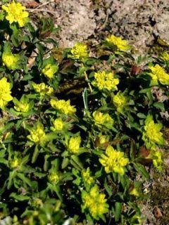 Euphorbe , Euphorbia Polychroma Purpurea