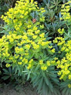 Euphorbia schillingii - Euphorbe schillingii