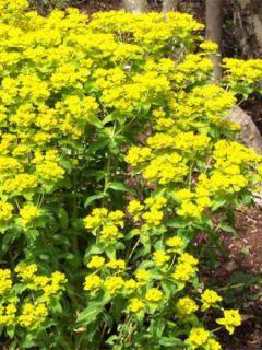 Euphorbia wallichii - Euphorbe