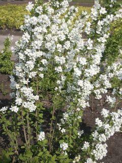 Exochorda Magical Springtime ® ('Kolmaspri') - Exochorda racemosa