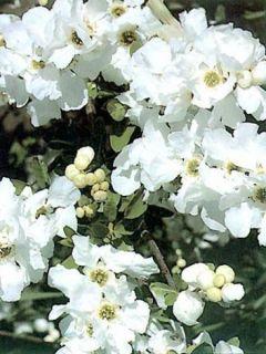 Exochorda x macrantha 'The Bride'