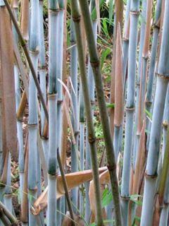 Fargesia papyrifera Blue Dragon® - Bambou non traçant