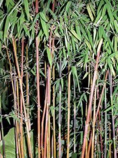 Fargesia nitida Jiu - Bambou non traçant