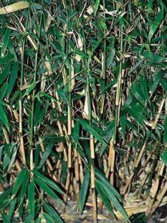 Bambou non traçant - Fargesia rufa