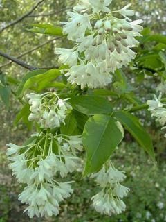 Staphylea colchica - Faux pistachier