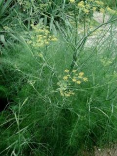 Fenouil, Foeniculum vulgare