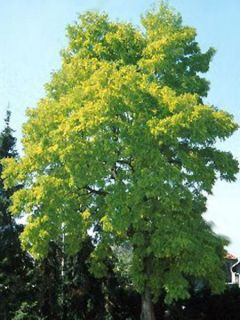 Févier d'Amèrique doré - Gleditsia triacanthos Sunburst