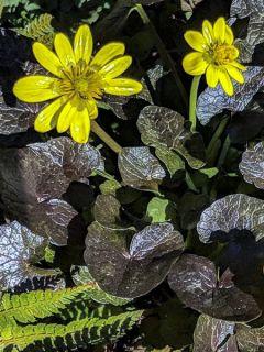 Ranunculus ficaria Brazen Hussy - Ficaire fausse-renoncule