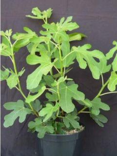 Figuier Longue d'Août - Ficus carica