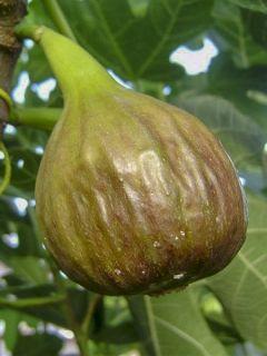 Figuier Nazareth - Ficus carica