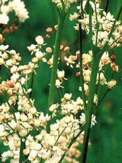 Filipendula ulmaria Plena - Reine des Prés à fleurs doubles