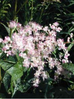 Filipendula palmata - Spirea palmata - Filipendule palmée