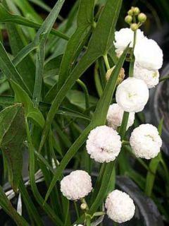 Sagittaire à fleurs doubles - Sagittaria sagittifolia Flore Pleno