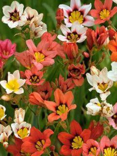 Fleur arlequin en mélange
