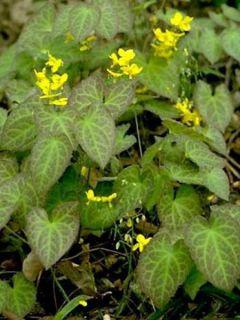 Epimedium perralchicum Frohnleiten, Fleur des elfes