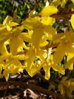 Forsythia intermedia 'Minigold'
