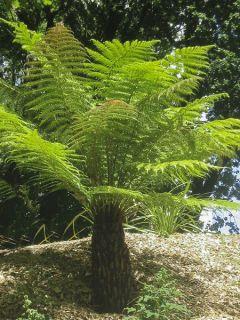 Fougère arborescente - Dicksonia antarctica, tronc de 5cm