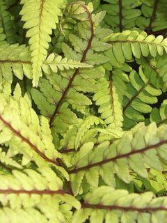 Athyrium vidalii - Fougère de Vidal