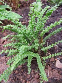 Athyrium filix-femina Frizelliae, Fougère femelle