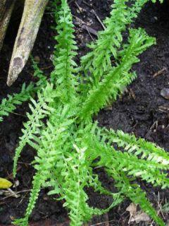 Athyrium filix-femina Victoriae - Fougère femelle Victoriae