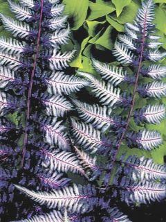 Athyrium niponicum Ursula's red - Fougère femelle Ursula's red