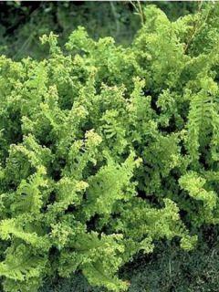 Fougère, Dryopteris filix-mas Crispa Cristata