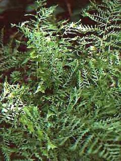 Fougère mâle - Dryopteris Linearis Polydactyla