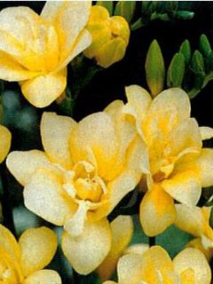 Freesia simple jaune
