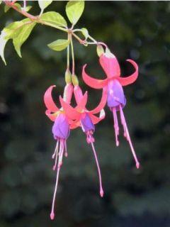 Fuchsia de Magellan 'Genii'
