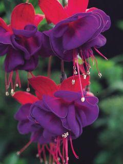 Fuchsia rustique Princess Dollar