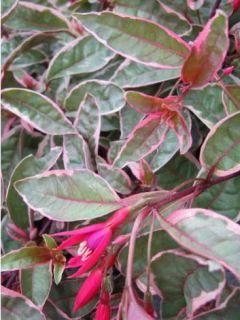 Fuchsia rustique Tom West