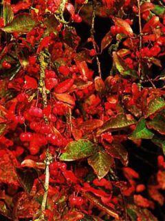 Fusain d'Europe 'Red Cascade'