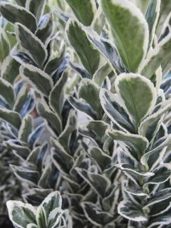 Euonymus japonicus White Spire - Fusain du Japon