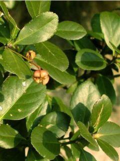 Euonymus japonicus - Fusain du Japon