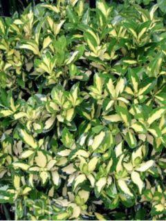 Euonymus fortunei  Sunspot - Fusain persistant panaché.