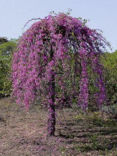 Cercis canadensis Lavender Twist - Gainier du Canada