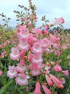 Galane 'Apple Blossom'