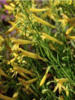 Penstemon pinifolius Mersea Yellow - Galane à feuilles de pin