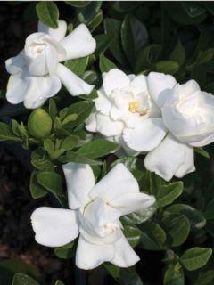 Gardenia jasminoides 'Crown Jewel'