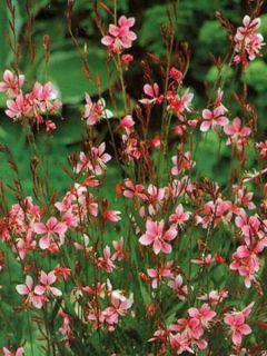 Gaura lindheimeri rose Siskyou pink