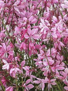 Gaura lindheimeri Baby Butterfly Dark Pink ® - Gaura de Lindheimer nain