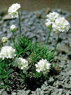 Gazon d'Espagne blanc, Armeria Maritima alba