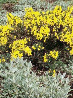 Genêt - Cytisus Golden Sunlight