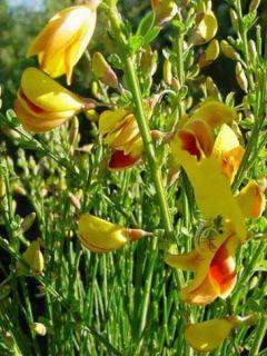 Genêt à balais - Cytisus scoparius Vanesse